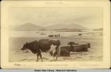 A study of cattle at Sitka. 1887.