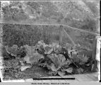 Cabbage grown by E. T. McBrien. Skagway, Alaska.