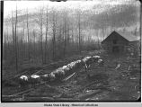 Pack train of horses leave log cabin.