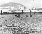 Herring catch, Douglas City, Alaska. 1895.