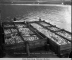 Salmon just in from traps. Thlinket Packing Co., Funter Bay, Alaska. 1908.