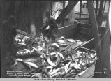 Brailing salmon. Astoria and Puget Sound Canning Co., Excursion Inlet, Alaska.