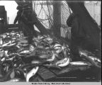 A. & P. S. Co. trap brailing salmon on scow.