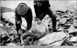 Two men with dead dall sheep.