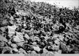 Seal Rookery - Zapadni, St. Paul - July 1943.