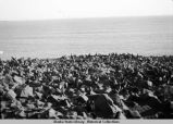 Seal Rookery - St. Paul, Sept. 1943.