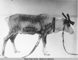 A reindeer harnessed up for pulling a sled.