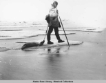 Man dragging dead seal home after hunting on the ice.