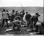 Aleut skinners at work.  Note the low, flat, treeless, barren terrain of the islands. White...