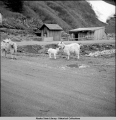 Fox farmer's goats.  Highway near Thane, Alaska, 5/39.
