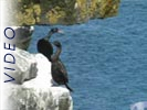 Red Faced Cormorant