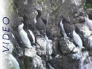 Thick-Billed and Common Murres