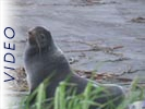 Northern Fur Seal: Part Three