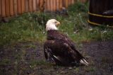 An eagle scans his area at eagle rehab center.