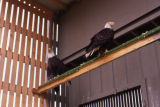 Eagles perch on high beams at eagle rehab center.