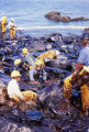 Oiled workers use pom-poms to clean beach.