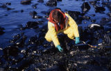 Kelso handles oily rocks of impacted beach.