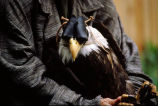 Assistant holds eagle (close up)