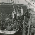 Fishing boat with catch of king crab on deck, Kodiak, ca. 1963.