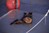 Otter rehab, mother and baby kept separate.