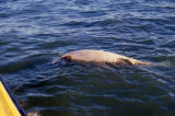 Dead scavanged beluga whale found afloat in open water.