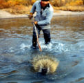 Georgie Wilson teasing a porcupine in the Kvichak River at Horseshoe Bend.