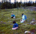 Kokhanok family berry picking on tundra.